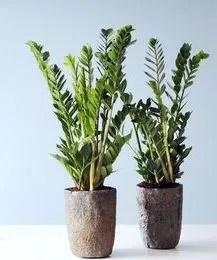 Zamifolia zamioculcas