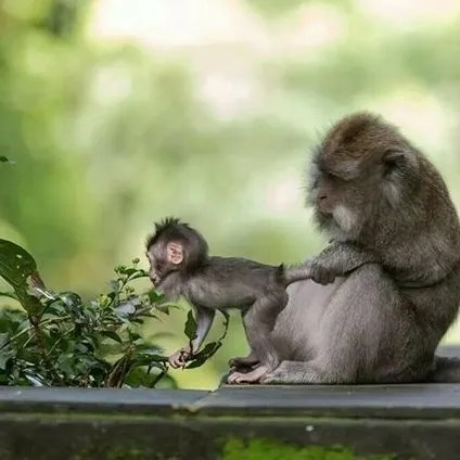 Mother monkey helping baby