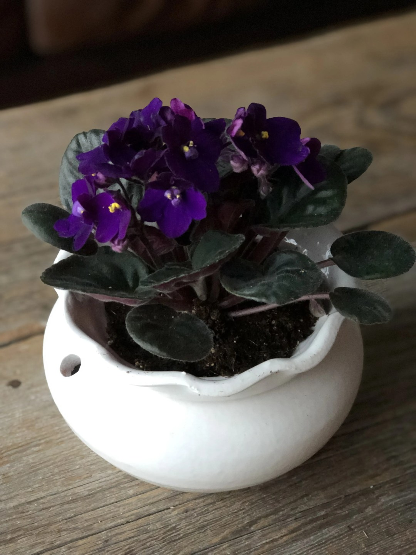 African Violet Potted