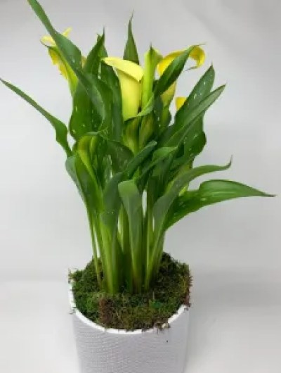 yellow calla lilies