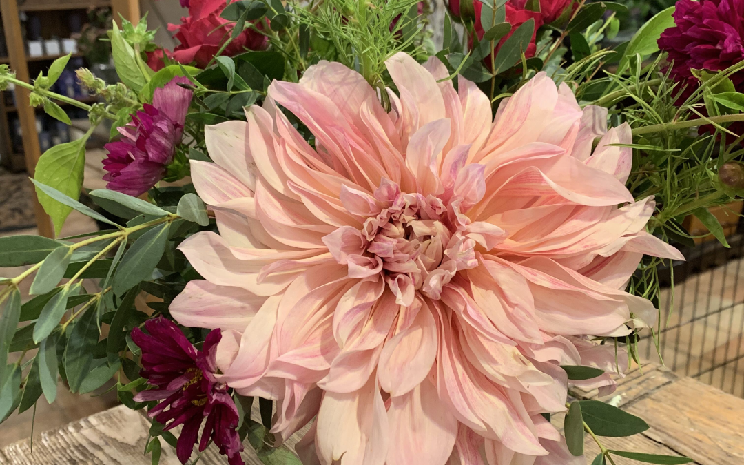 DARLING DAHLIAS!
