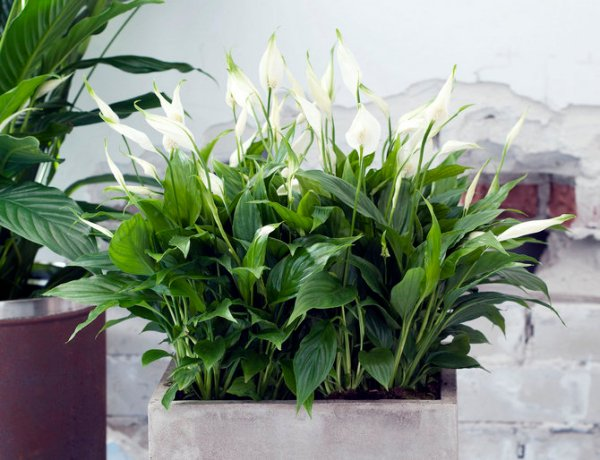 Цветок спатифиллум – уход в домашних условиях. Выращивание ...