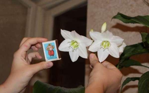 Цветок Эухарис Фото
