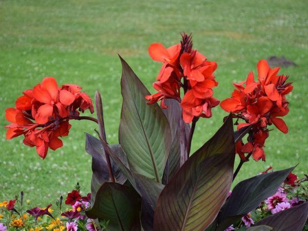 Канны цветы: посадка и уход, выращивание в саду, виды и ...