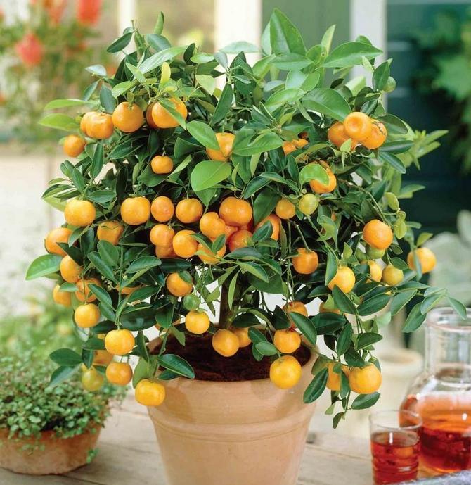 Можно ли есть плоды цитрофортунеллы каламондин съедобный или нет