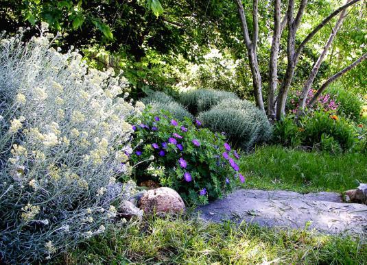 Сантолина в саду (в середине герань, а за ней бордюр из кустиков сантолины)
