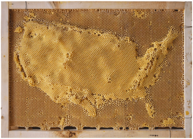 United States bees