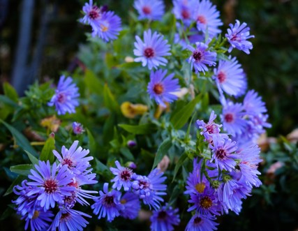 Descendants of asters grown in Colorado by my maternal grandfather, given to me by my mother, Dorothy Banks.