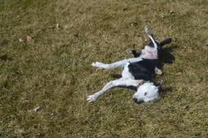 Luna rolling in grass