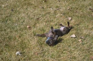 Pixie rolling in grass2