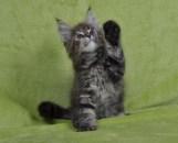 Kocięta | Maine Coon | Kittens | Fluffy Coons *PL