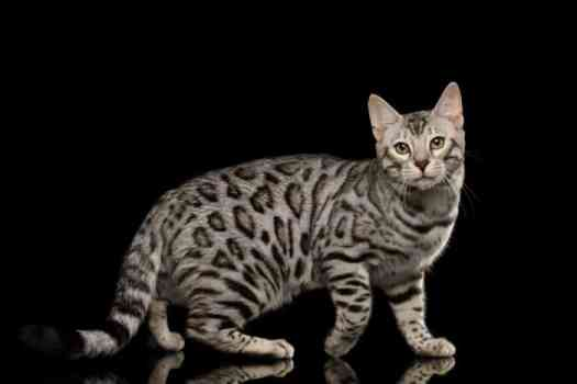 What is a Silver Bengal Cat?  2020