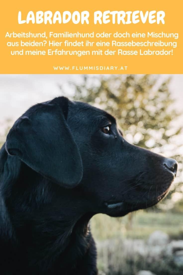 pinterest-labrador-retriever
