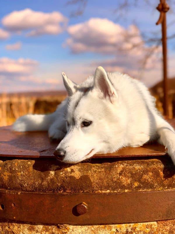undercover-labrador-vollzeitjob-hund