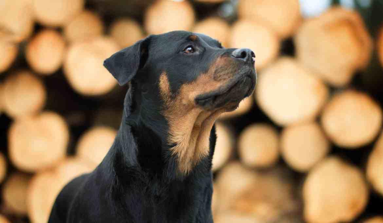 rasseportrait-rottweiler-hunderasse-erfahrung-blog