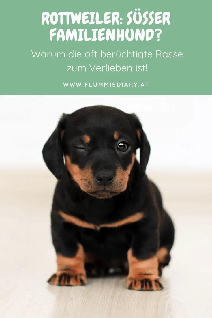 rottweiler-rasseportrait-rasse-gefährlich-hund