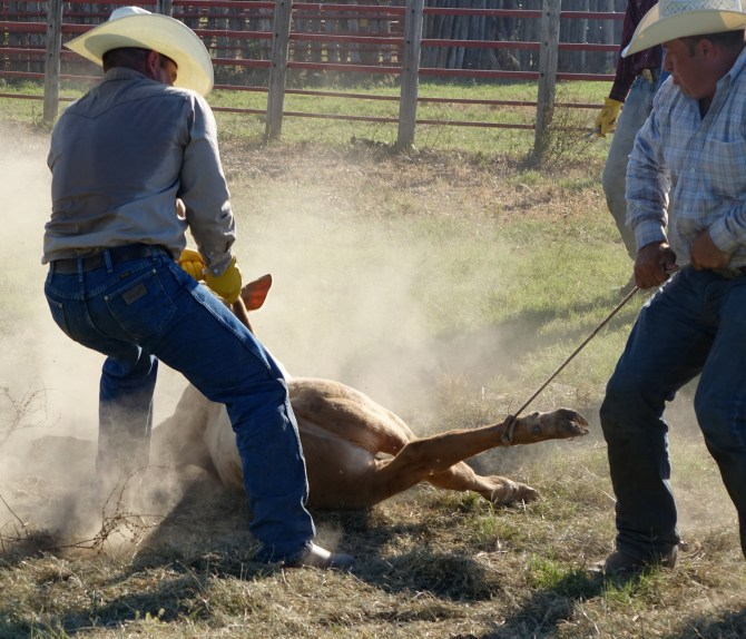 Cattle Branding. It Happens FAST!  So I'd Slowed It Down For You