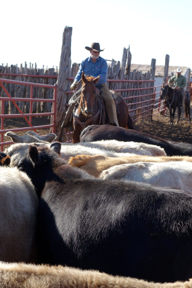 Weighing Cattle on a Texas Ranch