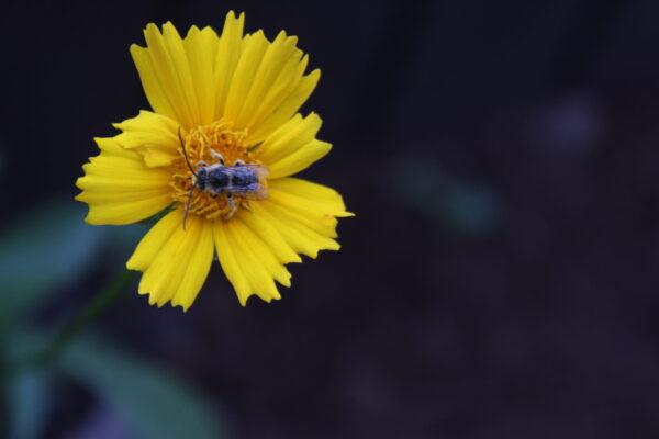 Lanceleaf Coreopsis