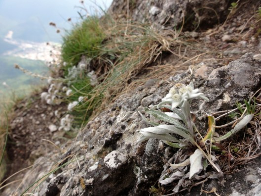 flora montana, muntii carpati