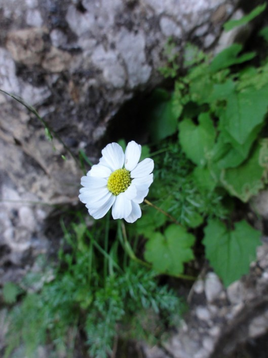 flora montana romania