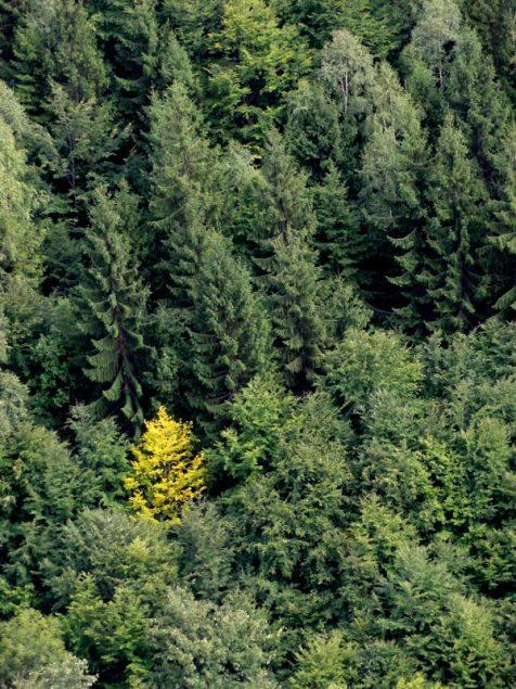 copac galben_peisaj de toamna la munte
