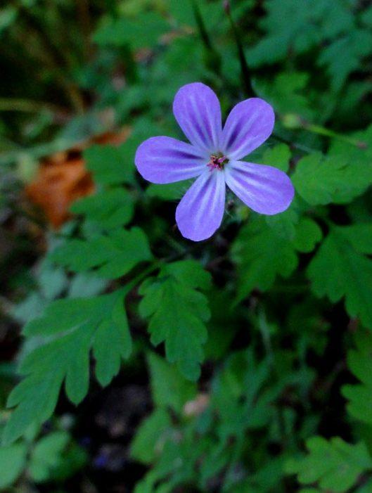 floare de padure