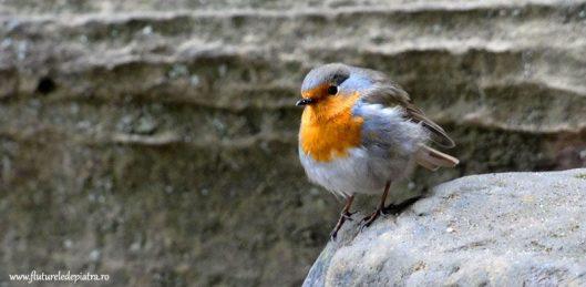 rouge gorge bird