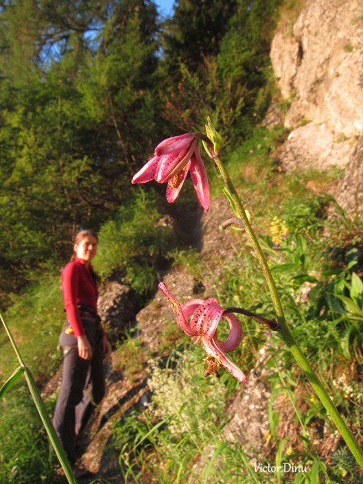 wild lilly, carpatian mountains