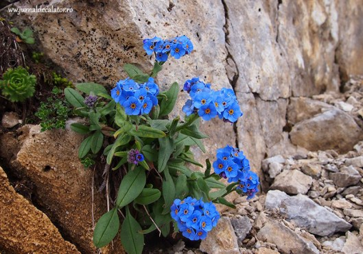 mountain flowers, Bulgaria