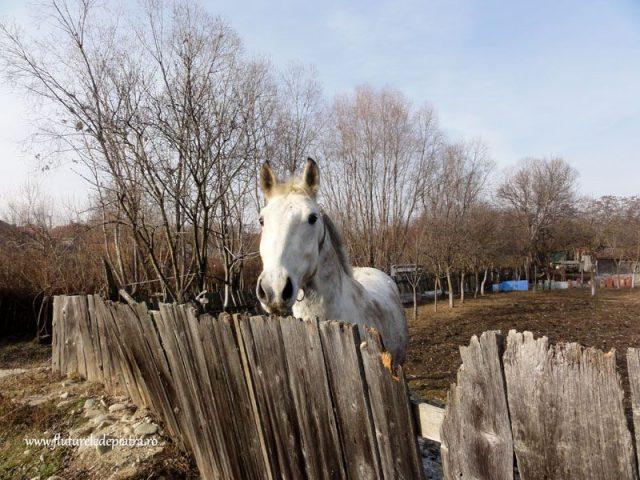 cal alb romanesc