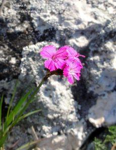 flora cheile turzii
