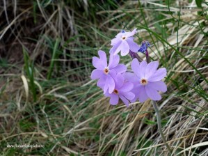 flora muntii carpati