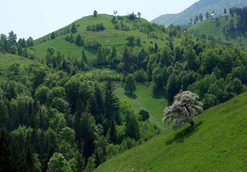 pom înflorit pe dealurile din Satul Măgura, Piatra Craiului peisaj rustic