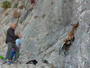 capre păscând pe verticală, kalymnos