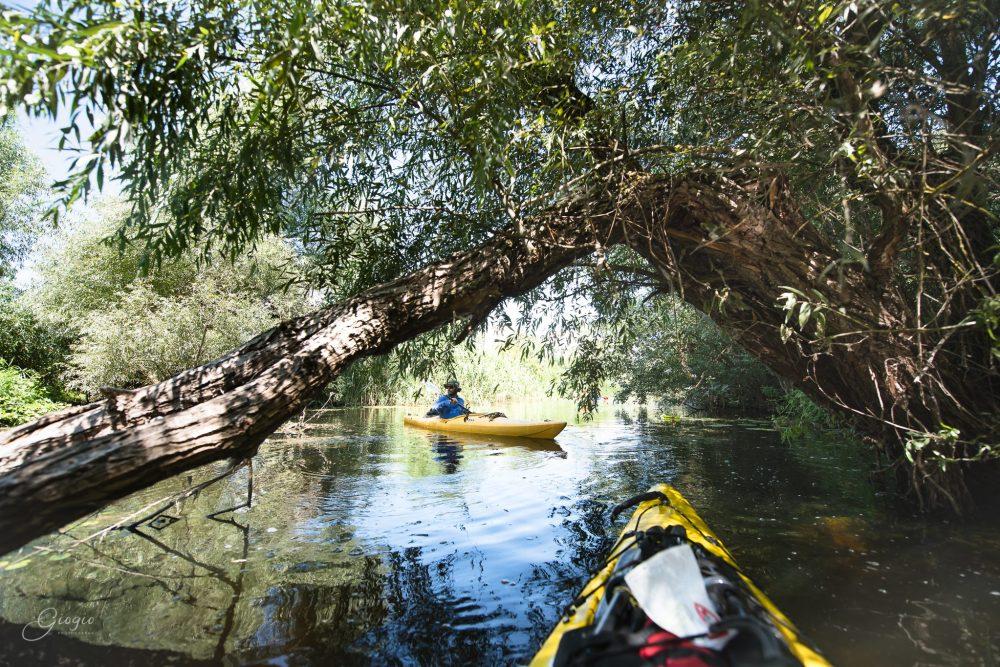 la umbra unei salcii căzute în Delta Dunării cu caiacul