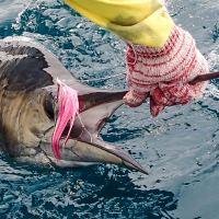 Rompin Sailfish Fly Fishing