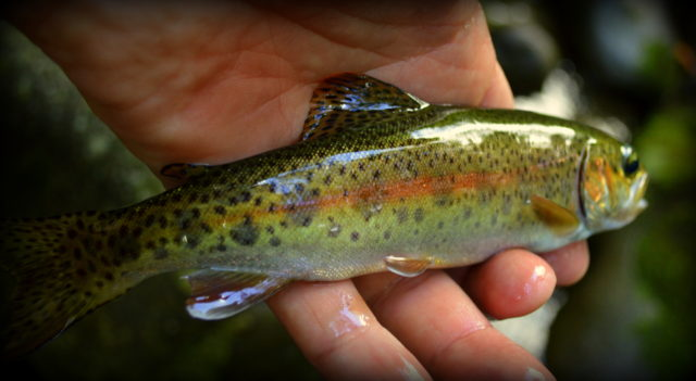 Great smoky mountains fishing report 9 24 16 for Smoky mountain trout fishing