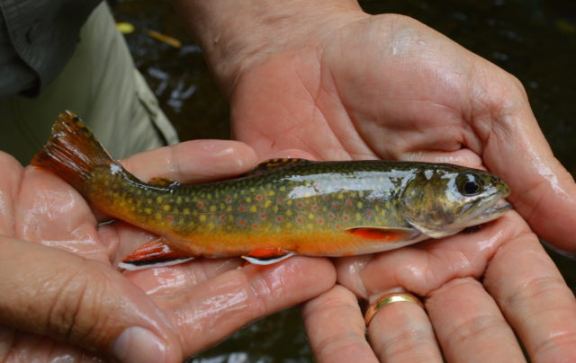 Great Smoky Mountains Fishing Report 9/16/16,Fly Fishing the Smokies, Fly Fishing Guides for trout Gatlinburg Pigeon Forge Sevierville Bryson City Gatlinburg, Brook Trout Smoky Mountains