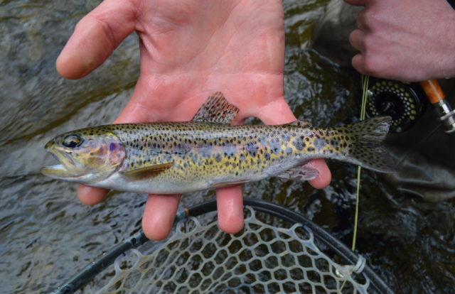 Great Smoky Mountains Fishing Report April 11th, Fly Fishing Smoky Mountains Guides
