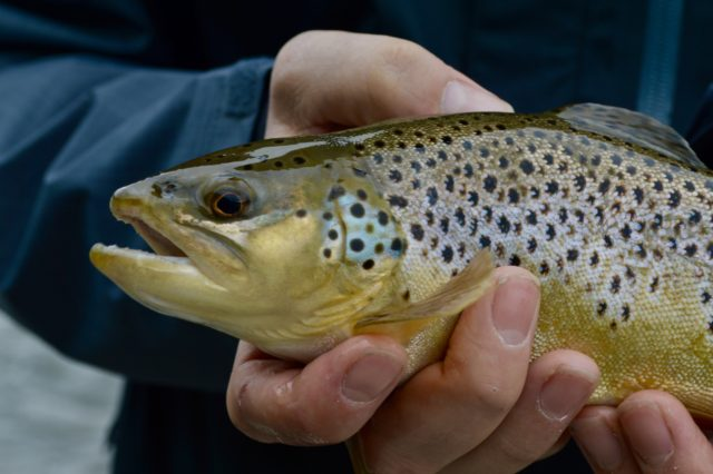 Tuckasegee River Fly Fishing Report May, Tuckasegee River Fly Fishing Guides