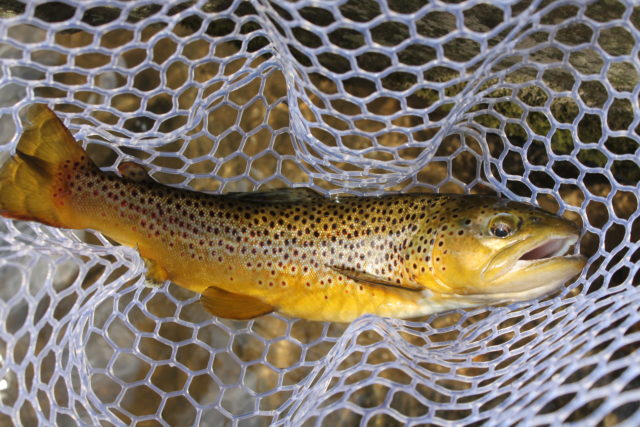 Great Smoky Mountains Fishing Report July 14th, Fly Fishing the Smokies, Gatlinburg Pigeon Forge Sevierville Fly Fishing Guides, Bryson City Fly Fishing Guides,