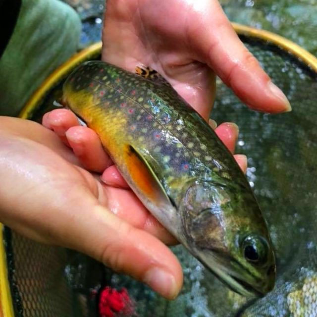 Fly Fishing Guides Gatlinburg Pigeon Forge Sevierville, Smoky Mountain Fly Fishing Report, Brook Trout, Fly Fishing the Smokies,