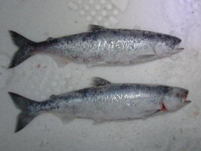 ... ice fishing Kokanee - the original silver bullets!