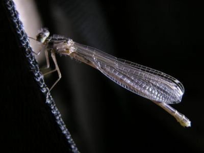 Fly Fishing Damselfly Nymphs & Adults