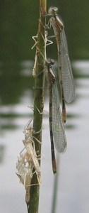 Fly Fishing Damselfly Nymph