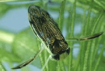 how to tie water boatman fly