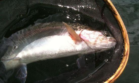 BC Rainbow Trout