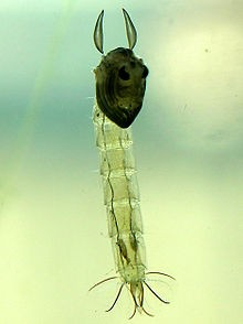 Fly Fishing Chaoborus Glassworms ... a chaoborus pupa on the rise!