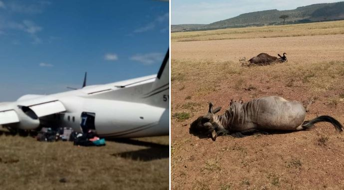 SAFARILINK DASH 8 COLLIDED WITH WILDEBEEST ON RUNWAY DURING LANDING IN KENYA